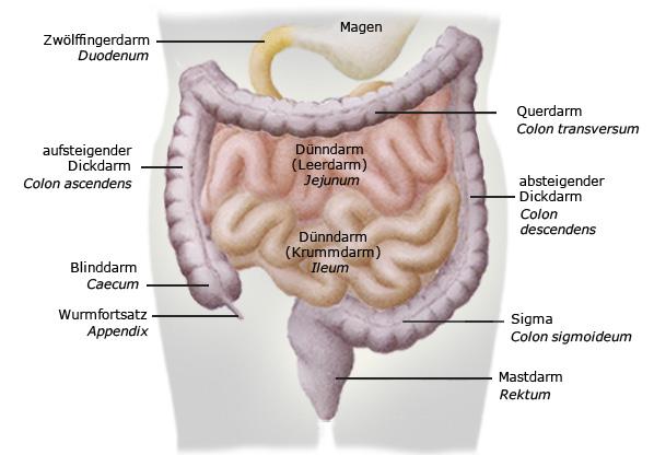 Darmabschnitte