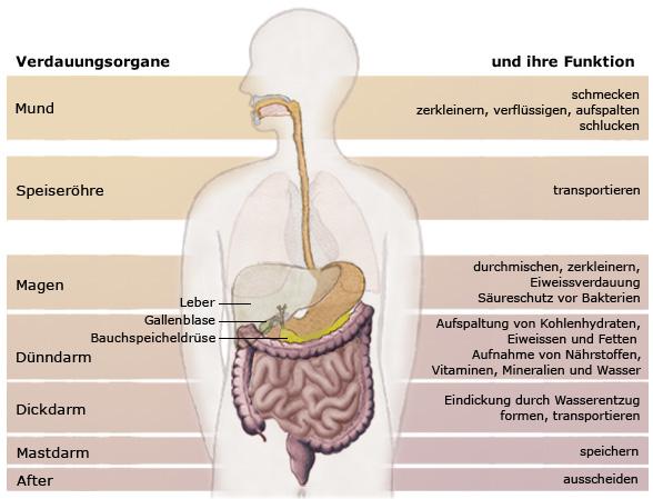Verdauungsorgane